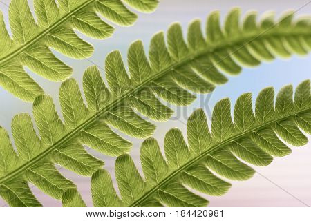 Close-up of Three Fern Leaves in Spring
