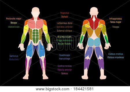 Muscle chart with most important muscles of the human body - colored anterior and posterior view - labeled isolated vector illustration on black background.