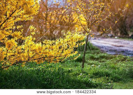 Forsythia flowers in front of with green grass and blue sky. Golden Bell, Border Forsythia (Forsythia x intermedia, Forsythia europaea). Blooming in spring garden bush forsythia. Rural.