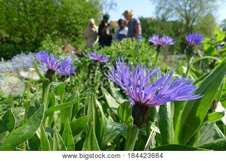 A field featuring a blue Centaurea accompanied by dandelions