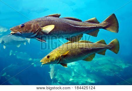 Cod fishes floating in aquarium, Alesund, Norway.