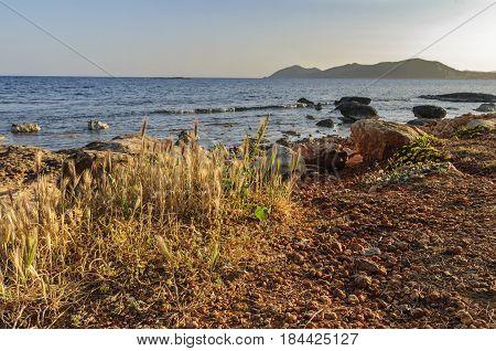 wild grass growing near the Mediterranean sea