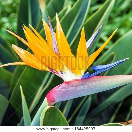 African flower strelitzia bird of paradise Madeira island. Funchal, Portugal