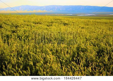 Vast lush green grasslands taken at the rural countryside in the Carrizo Plain, CA