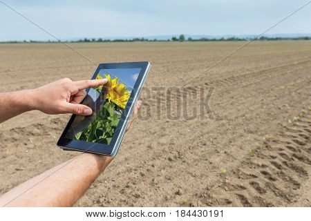 Smart Agriculture. Farmer Using Tablet Sunflower Planting. Modern Agriculture Concept.