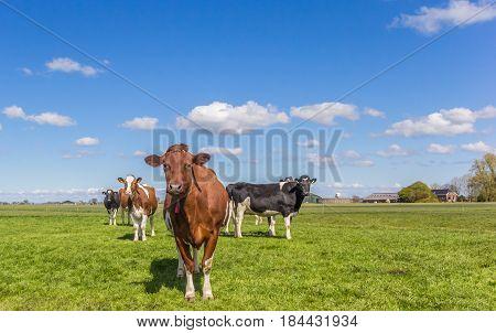 Red Holstein cow in the dutch landscape near Groningen Holland