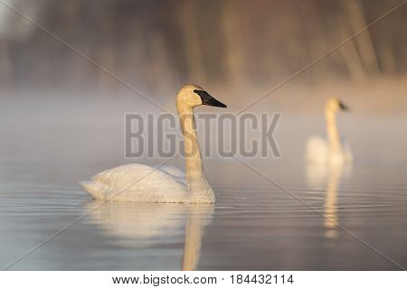 A Pair of Trumpeter Swans on a misty morning