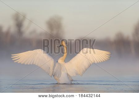 A Trumpeter Swan flapping its wings on a misty morning