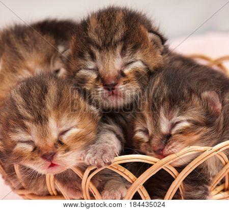 Cute newborn kittens asleep in the wicker basket over white background