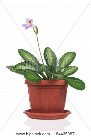 Cute Primulina flower in the flowerpot isolated over white background
