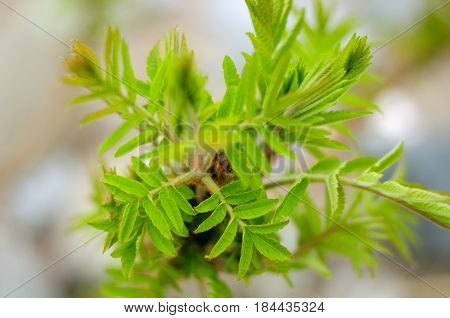 A close up image and blurred background of new growth emerging from a sumac tree on a connecticut beach.