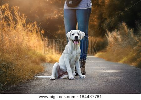 cute little labrador retriever dog puppy sitting in front of a woman