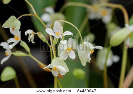 Closeup of Begonia x hybrida, Baby Wing White flower with yellow stamen in Tasmania, Australia