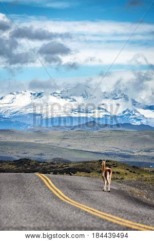 Highway towards Patagonia in Chile with guanaco on the pavement