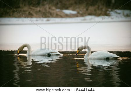 Couple of whooper swans drinking while swimming