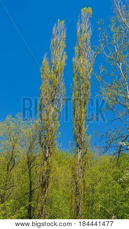 Two long pyramidal poplar tree. Spring day.