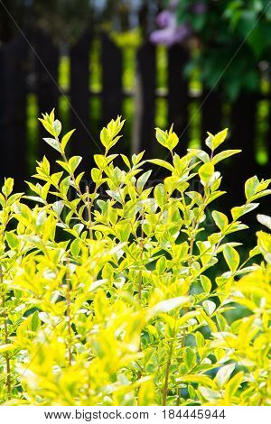 Privet ligustrum green and yellow shrub and garden fence in spring or summer.