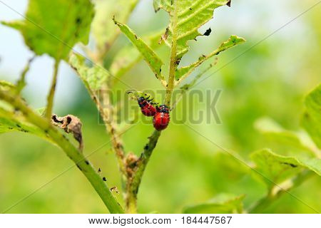 larvae of colorado beetles sitting and on the leaves of a potato