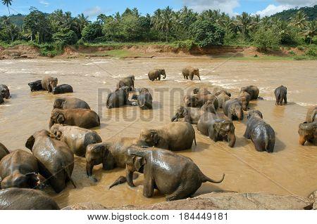 Elephants From The Pinnewala Elephant Orphanage Enjoy Their Daily Bath