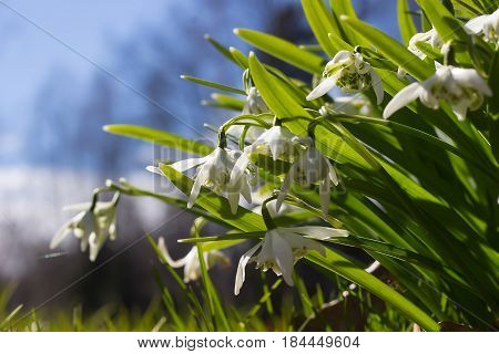 Snowdrop spring flowers. Delicate Snowdrop flower is one of the spring symbols telling us winter is leaving and we have warmer times ahead. Fresh green well complementing the white blossoms.