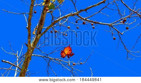 Platanus occidentalis commonly called sycamore American sycamore eastern sycamore buttonwood or buttonball tree after the fall of the leaves and the fruit balls hanging from the branches