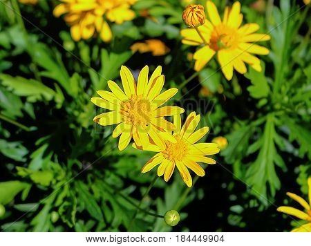 Euryops pectinatus 'Viridis' (Green Golden Shrub Daisy). Plant with open flowers and buds