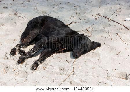 Stray dog relaxing and resting lying on the sand at the beach