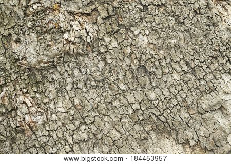 Natural tree bark plank texture. Untreated natural rustic wood background, rough timber plant surface. Weathered grunge. Background texture of tree bark.
