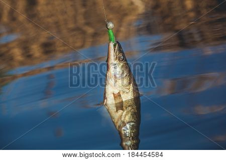Fish Zander caught on a hook in a freshwater pond.