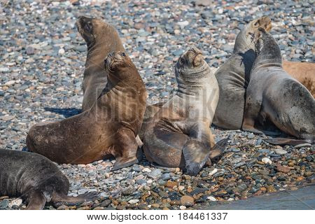 Sea Lions At The Patagonia Beach, Argentina