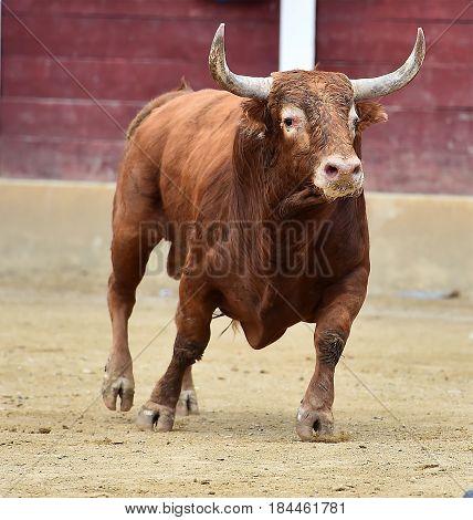 spanish bull in bullring with big horns
