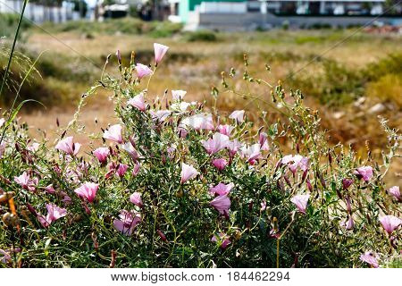 Many Of The Flowers Of The Field Bindweed (convolvulus Althaeoides) Grow In The Field.