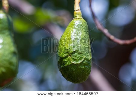 Immature Avocado On The Tree