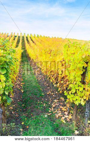 Landscape with autumn vineyards rows of Route des Vin, France, Alsace