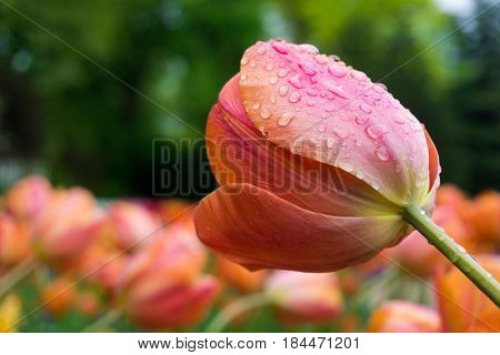 Raindrops on a Flower. Close-up of a Tulip (Tulipa) on a rainy Day. Raindrops on a red Tulip. Garden Flowers
