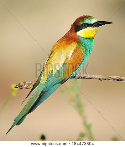 bee eater in spain with colours feathers