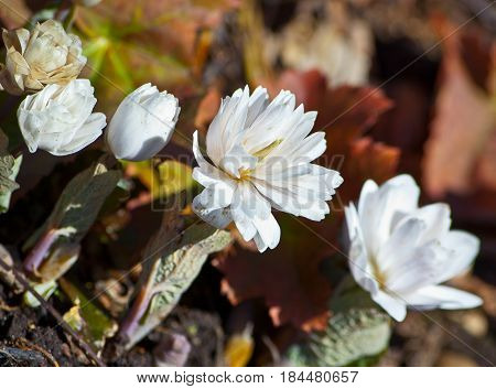 several plants, two open and three buds, white, unusual, beautiful flowers, fluffy, selection, grow in a botanical garden, sanguinaria canadensis, five plants