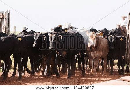 Cattle: Calves Running To The Corral After Weaning