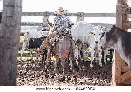 Cowboy riding a horse and directing cattle on farm's corral