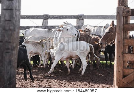 Cattle Cornered In The Corral Of A Farm