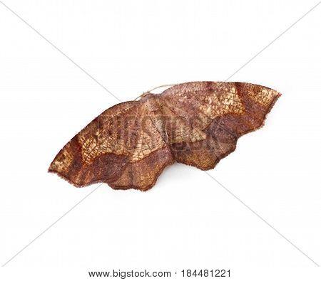 Friendly Probole Moth (Probole amicaria) isolated on a white background