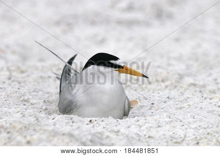 A Least Tern in breeding plumage sitting on an egg in a depression in the sand on a beach in Florida