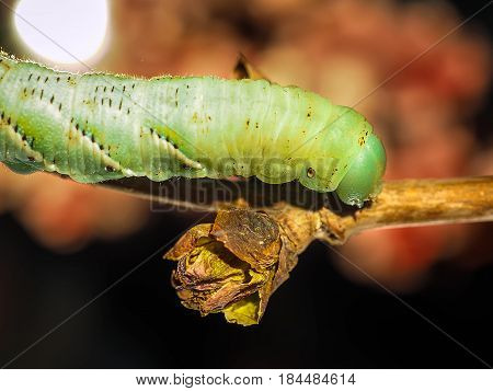 A Green Caterpillar Creeps Along A Fresh Sprout Of A Tree