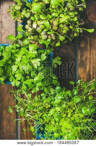 Homegrown radish cress, watercress and coriander sprouts in blue plastic pots on wooden tray background, top view, selective focus