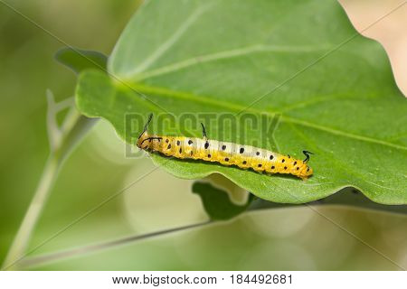 Intermediate Maplet (chersonesia Intermedia) Caterpillar