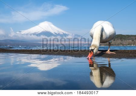 Beautiful view of Yamanaka lake with Fuji mountain and White swan drinking water with reflection