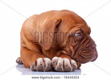 Seated Puppy Of Dogue De Bordeaux