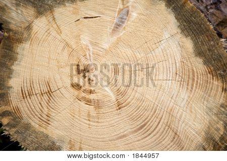 A circular cut of a huge piece of log. poster