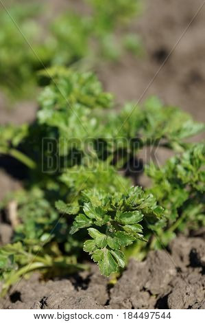Green and fresh parsley grows on the bed. Garden garden with parsley.