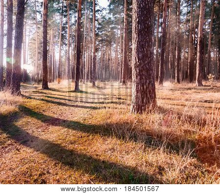 Pine forest brightly lit by the low sun. Sun glare on the trees and the grass. A discreet path runs through a small forest. In the picture you can see the reflection in the lens from the bright sun.